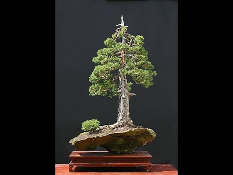 Specific Bonsai Care Guidelines For The Spruce Youtube