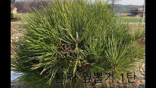 분재(해송) 잎뽑기 방법 1탄