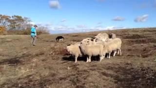 ボーダーコリーメリー8ヶ月。 初めて羊と対面! 見事な血筋です!