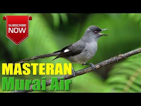 Masteran Suara Kicau Burung Murai Air Gacor Volume Kencang