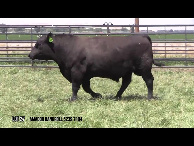 Mid Valley Bull Sale Lot 27