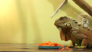 Игуана ест морковь