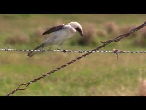 Loggerhead Shrike has a Meal