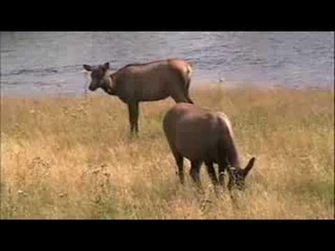 Yellowstone Elk - Fall Rut