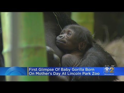 Lance Houston - Lincoln Park Zoo Gorilla Welcomed New Baby on Mother's Day!
