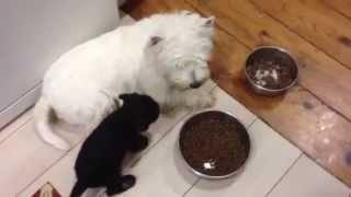 Archie ( Westie) With Puppies Schnauzer Miniature