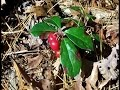 Wild Edible Plants  Wintergreen Berries