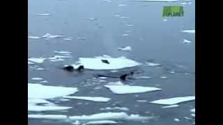 КАСАТКА АТАКУЕТ  Orcas Attack Seal