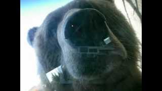 GIANT BEAR LICKING GLASS WINDOW!!!  AWESOME!!!