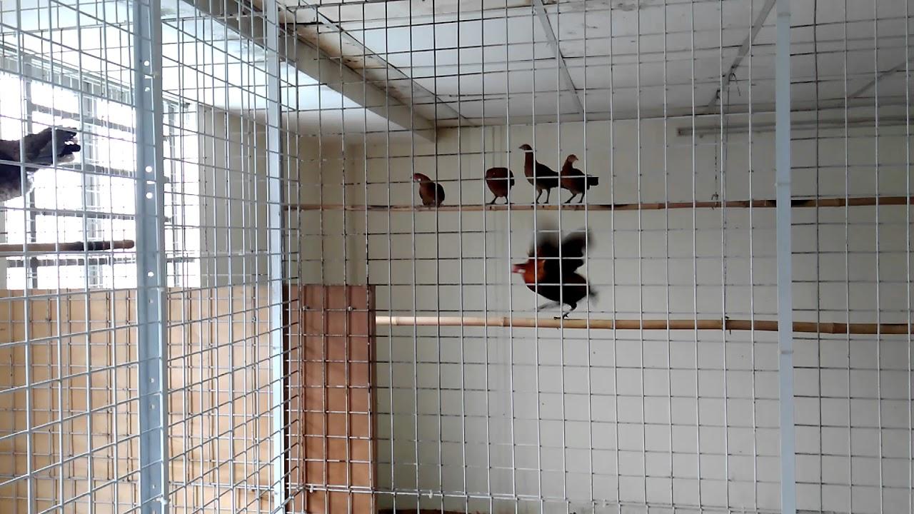Bán gà rừng rặc thuần nuôi kiểng hoặc làm giống tại TP HCM - 0918991529
