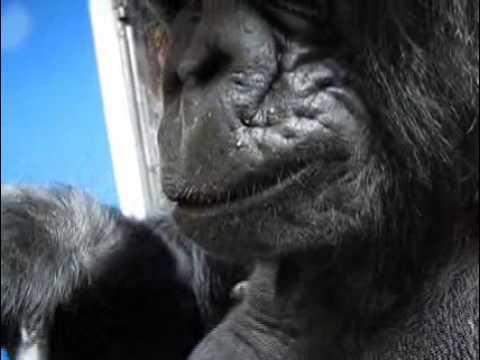 Koko the Gorilla - Magazine cover