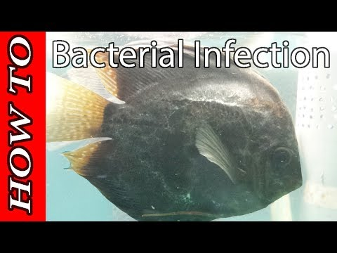 Bacterial Infection On Fish: Cure (treatement), Diagnose, Symptoms