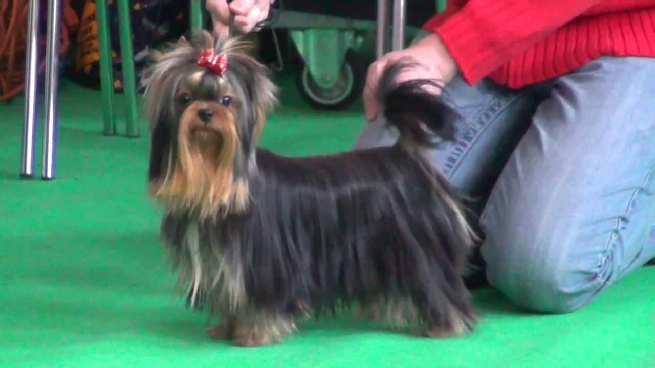Yorki Yorkshire Terrier Prezentacja Yorków Youtube