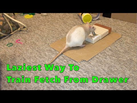 Laziest Way To Train a Rat To Fetch From A Drawer