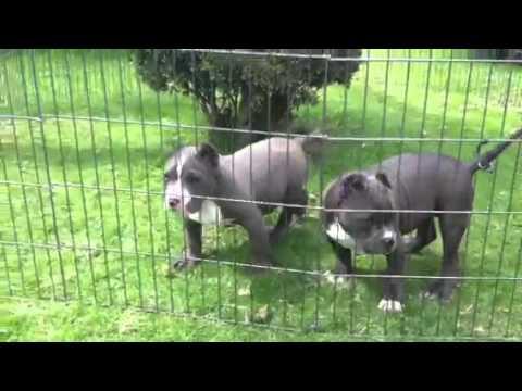cachorros american bully mexline youtube