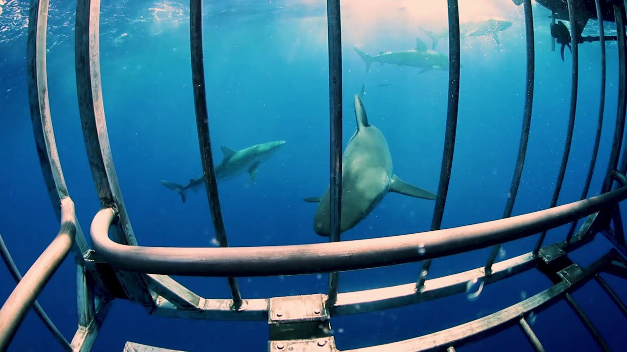 Stream Replay: Free Diving with Sharks NO CAGE