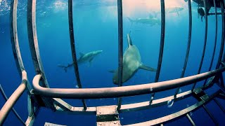 LIVE Free Diving with Sharks NO CAGE