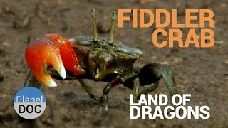 Fiddler Crab. Land of Dragons | Nature - Planet Doc Full Documentaries