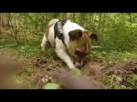 Foxy loves digging Hole | Typical Jack Russell Terrier breed behavior