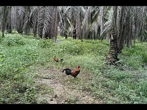 Pikat ayam hutan..tembak mau tepat..by si pungut