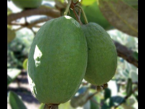 плод дынного дерева- английский перевод -  словарь