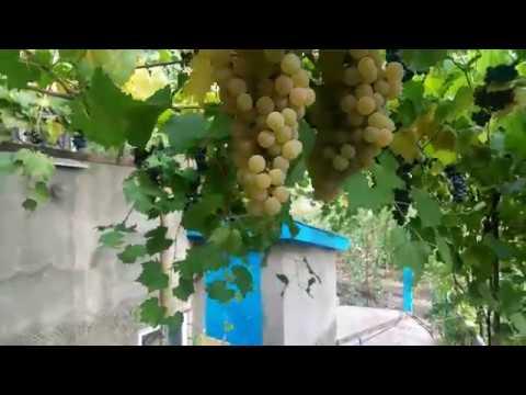 !!Виноград Цитронный Магарача.