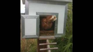 Hen Walks Up A Ladder To Get To Her Chicube Raised Chicken Coop/chicken House
