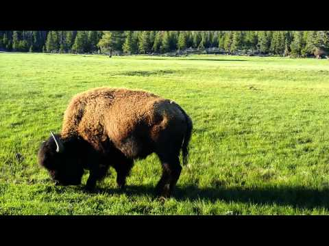 Bison sparring at Yellowstone