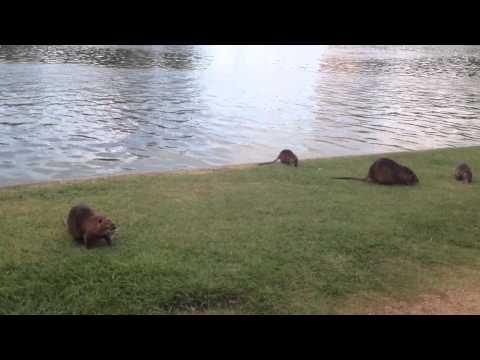 Nutria Rats In Hermann Park, Houston