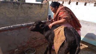 ਮੈਨੂੰ ਗੋਡੇ ਗੋਡੇ ਚੜ੍ਹਿਆ ਚਾਅ, ਸਾਡੀ ਮੱਝ ਸੂ ਪਈ   Latest Mr Sammy Naz   Tayi Surinder Kaur   Rana Rangi