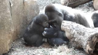 Baby gorilla spoils mom.母ゴリラに甘える赤ちゃんゴリラ。 Ueno Zoolo...