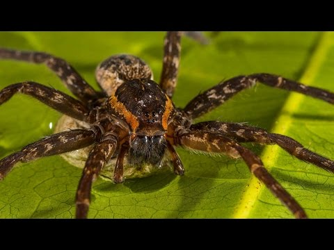 New Species Of Fish-Eating Spider Discovered In Australia