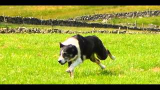 Scottish Sheep Dog Trial Ashintully Estate Strathardle Scotland