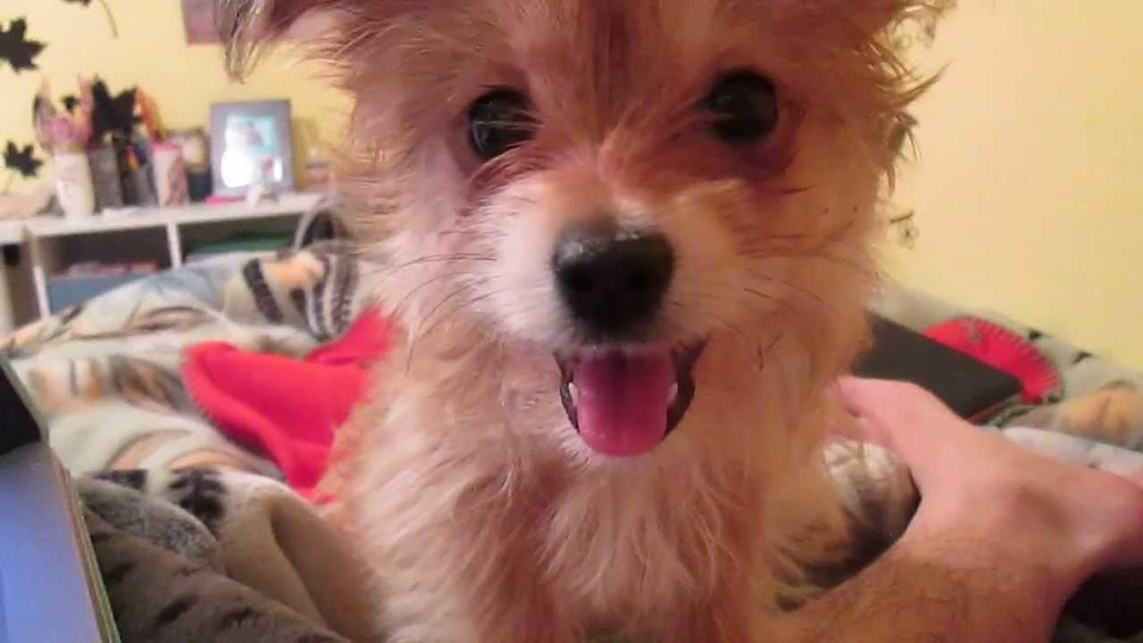 Maltese Shih Tzu Puppy Panting Youtube