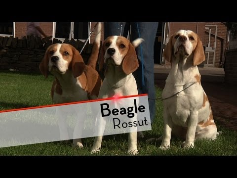 Beagle  Bests of Breed