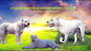 Алабаи в Воронеже Питомник Сен Сао