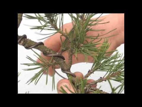copy of bonsai wiring not for dummies youtube rh youtube com Bonsai Cutting Techniques Bonsai Wiring Tips