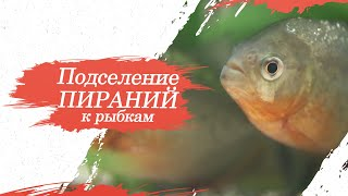 Подселение пираний к рыбкам в аквариум