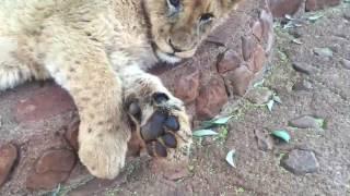 #CiarraInSouthAfrica   Ukutula Lion Farm   Volunteer 2016
