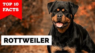 Rottweiler  Top 10 Facts