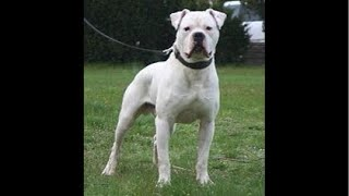 American Bulldogs and The Lies in This Breed.