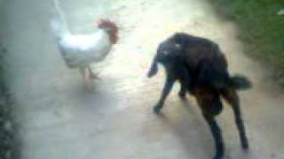 Cock with goat