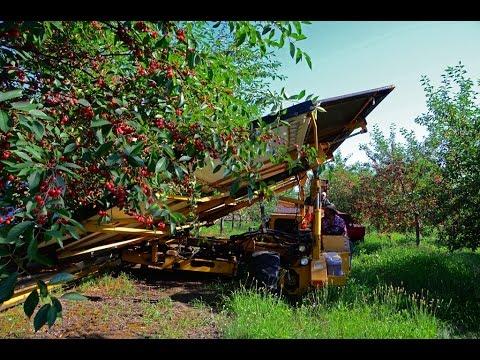 Thu hoạch Cherry ở Mỹ
