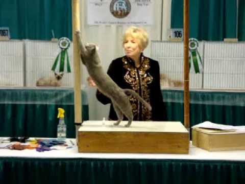 Houston Cat Show judging with Betty White