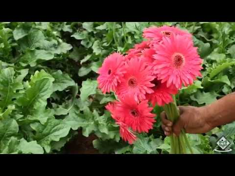 Cultivation Life Cycle Of Gerbera Flower Youtube
