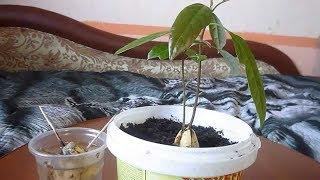 ★ 12 простых шагов для выращивания авокадо дома из косточки. Как правильно сажать авокадо
