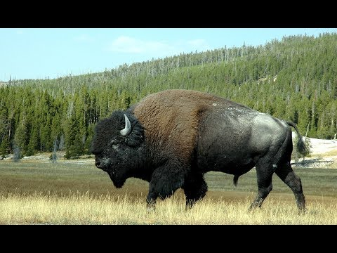 the flight of the bison from Yellowstone