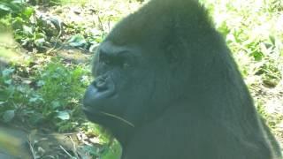 2016年6月18日撮影 上野動物園のゴリラのナナちゃん。 ただ今 ダイエッ...