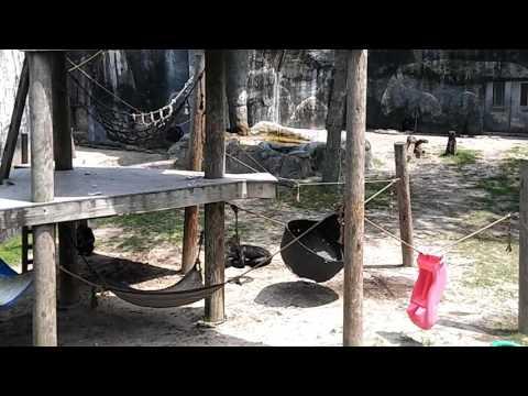 Bonobo Throws Brick at a Family in Florida Zoo