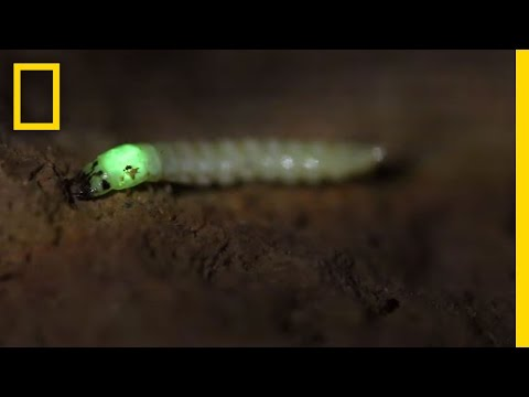 Watch: Glowing Bug Attracts and Devours Prey | National Geographic